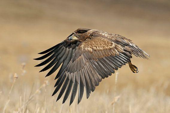 White-tailed Eagle / Sea Eagle ( Haliaeetus albicilla ) in flight, young bird