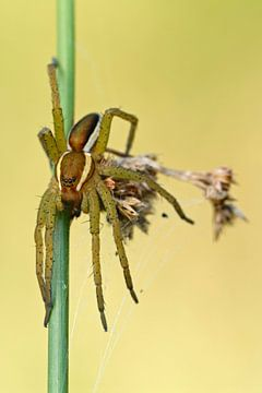 Raft Spider *Dolomedes fimbriatus* van wunderbare Erde