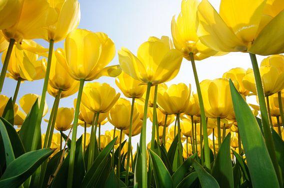 Gele Tulpen - Holland van Roelof Foppen