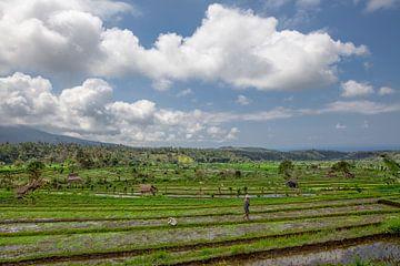 Ein traditioneller balinesischer Landwirt kontrolliert seine Reispflanzen auf den terrassierten Reis von