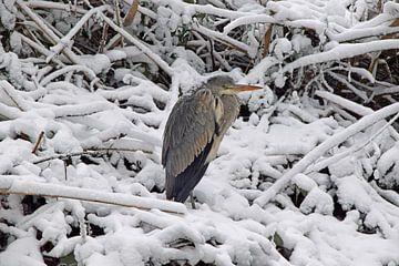 blauwe reiger zit langs de sloot in de sneeuw en lijkt het koud te hebben van Robin Verhoef