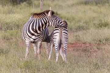 Zebra Kruger Nationaal Park van Dennis Eckert