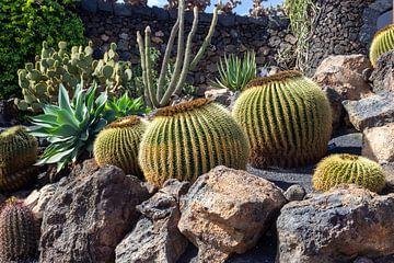 Verschiedene Kakteenarten auf der Kanareninsel Lanzarote von Reiner Conrad