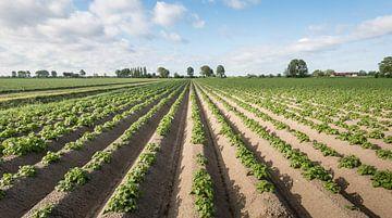 Aardappelplanten in lange rijen van Ruud Morijn