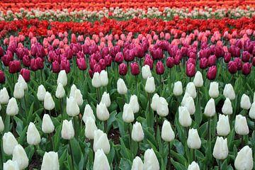 Tulip Flag von Cornelis (Cees) Cornelissen