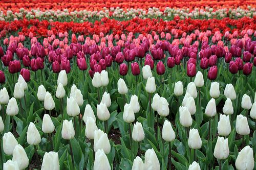 Tulip Flag