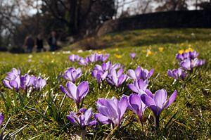 Frühlings Wiese voller lila blühender Krokus van