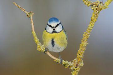 Blickkontakt... Blaumeise *Cyanistes caeruleus* von wunderbare Erde