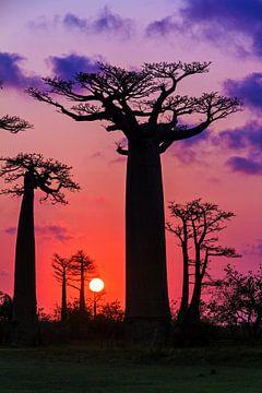 Vurige Baobabs van Dennis van de Water