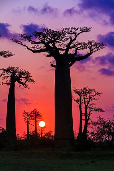 Vurige Baobabs