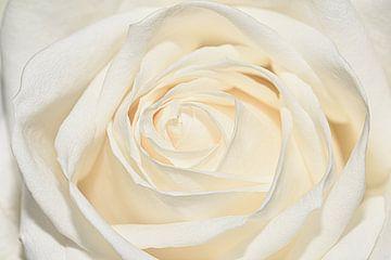 Nahaufnahme einer weißen Rose von Marjolein van Middelkoop