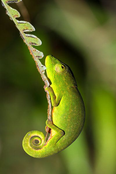 Madagaskar kameleon van Dennis van de Water