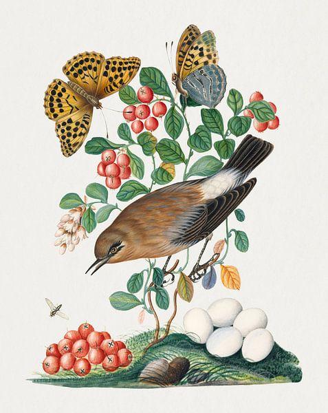 Steinschmätzer, Moosbeere, Silberfleck-Perlmutterfalter und Langbeinige Fliege aus dem Natural Histo von Studio POPPY