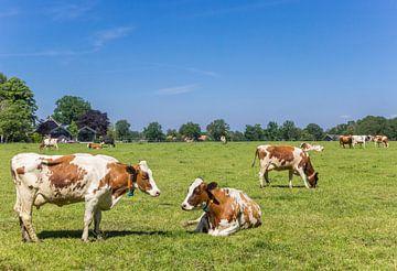 Rote und weiße Holstein-Kühe in der Landschaft von Twente, Overijssel von Marc Venema