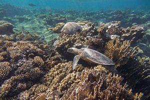 Schildkröte in einem Korallengarten, Ägypten von Daniëlle van der meule
