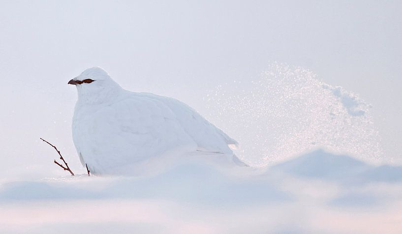 Alpensneeuwhoen (Lagopus mutus) van Beschermingswerk voor aan uw muur