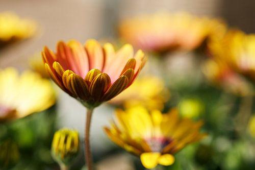 Geel/Oranje Margriet in de zon