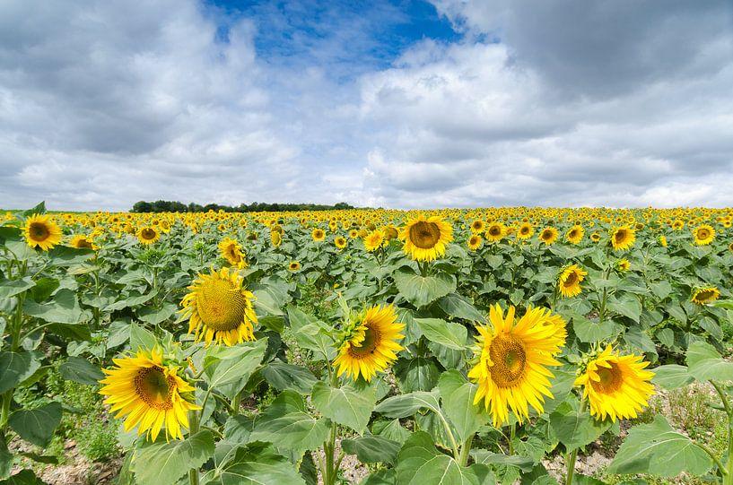 Een veld vol zonnebloemen van Mark Bolijn