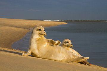 Twee zeehonden liggend in de zon von Beschermingswerk voor aan uw muur