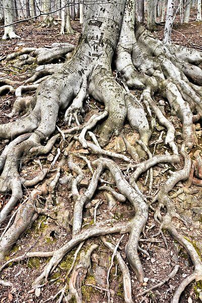 Racines d'un vieux hêtre cuivré (Fagus sylvatica) sur Heiko Kueverling