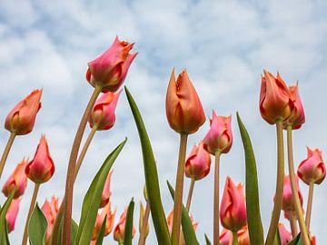 Zie de tulpen groeien van