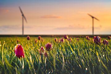 Tulpen en Windmolens sur rosstek ®