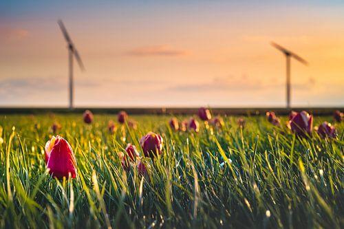 Tulpen en Windmolens van
