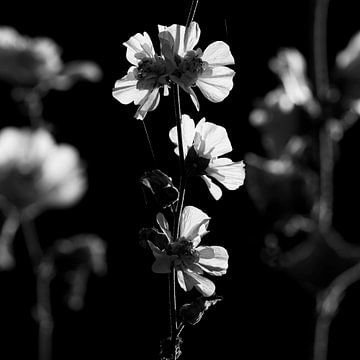 Doorlevende stokroos  van Sense Photography