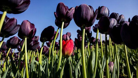 Tulips van rosstek ®