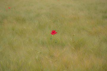 Klaproos in korenveld van Moetwil en van Dijk - Fotografie