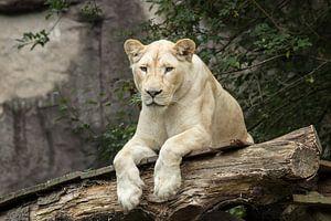 Witte Leeuwin van Martin Smit