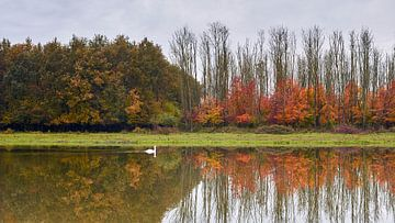 Zwaan dobbert in kleurrijk herfstlandschap van het Horsterwold van Jenco van Zalk