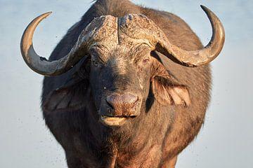 Een oude buffel in Afrika van Jolene van den Berg