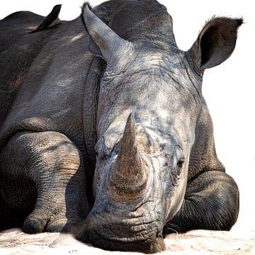Rhinocéros détendu sur Sharing Wildlife