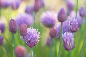 Het vrolijke paars van Bieslook van Birgitte Bergman