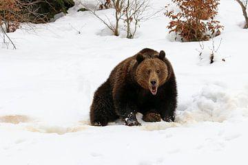 Bruine beer in de sneeuw van Antwan Janssen