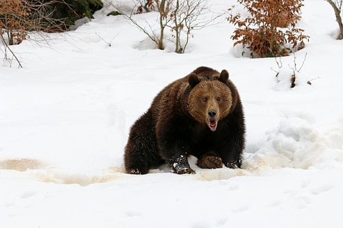 Bruine beer in de sneeuw