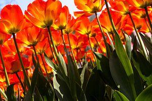 Verdrinken in een veld met rode-oranje tulpen van