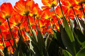 Verdrinken in een veld met rode-oranje tulpen van Sandra van Kampen