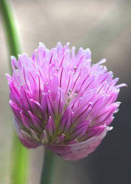 Schnittlauchblüte sur Rosi Lorz