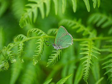 Papillon vert sur