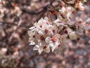 im Frühling blühen von SA Fotografie