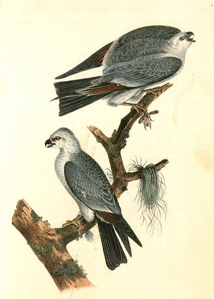 Mississipi Kite., Audubon, John James, 1785-1851