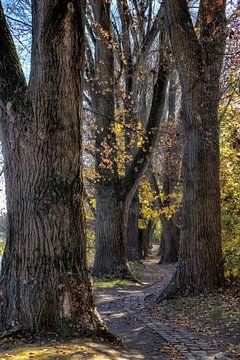 Ruelle de peupliers en automne dans le Haut-Wöhrd de Ratisbonne sur Roith Fotografie