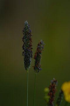 Blühendes Gras von Anke Winters