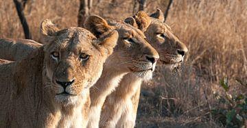 Drei Löwinnen auf der Lauer. von Rob Wareman Fotografie