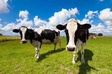 Neugierige niederländische Kühe auf einer grünen Wiese im Sommer von Bas Meelker