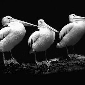 Pelikan Trio im Schwarz-weiss Porträt von Tanja Riedel