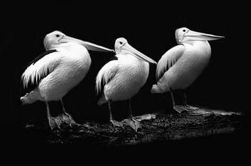 Pelican trio in zwart-wit portret van