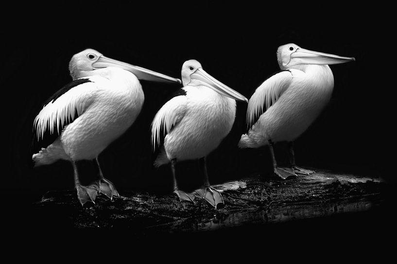 Pelican trio in zwart-wit portret van Tanja Riedel